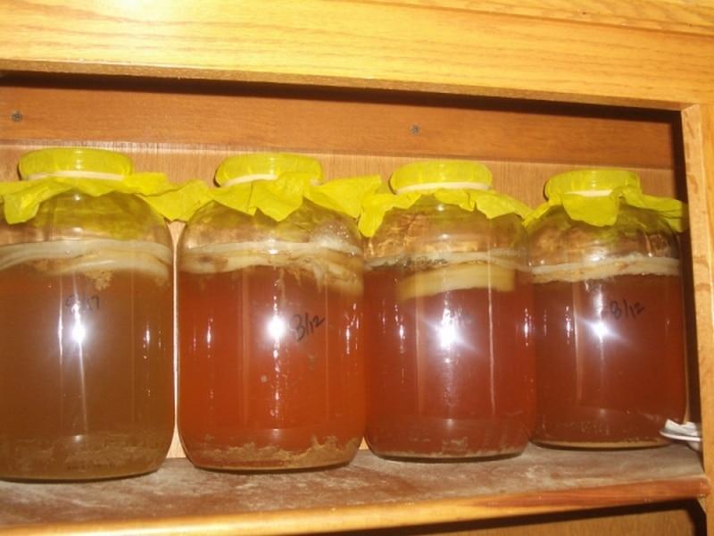 Как выращивать чайный гриб